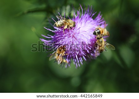 Bees and thistle Thorny thistle flower with bees in a meadow - stock photo