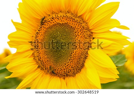 Bees are gathering pollen from sunflower head, pollination. Sunflowers head in bloom.