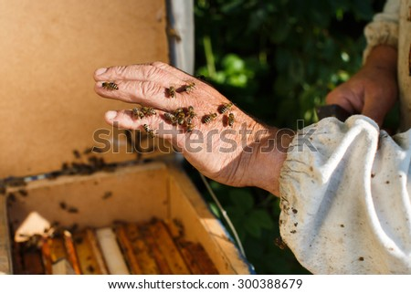 Bees are sitting on beekeeper's hand on the beehive background, in the garden, close up