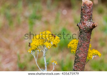bees busily pollinating yellow country flowers - stock photo
