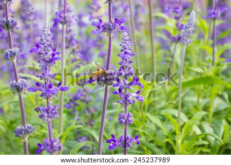 Bees collect nectar from lavender fresh air in the morning. - stock photo