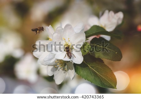 Bees collect pollen from apple tree. Close up of two bees hovering and collecting pollen from flowers of apple tree in spring. Macro, selective focus - stock photo