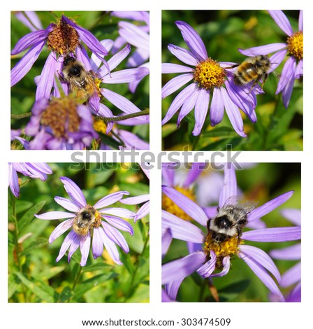 Bees collecting pollen on Alpine Aster  (Oresostemma apligenum ), near Paradise, Mount Rainier National Park  - stock photo