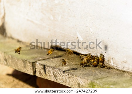 Bees coming in and out of their white beehive - stock photo