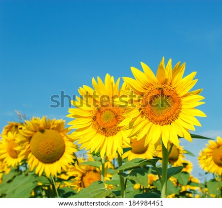 Bees, honeybees on sunflower - stock photo
