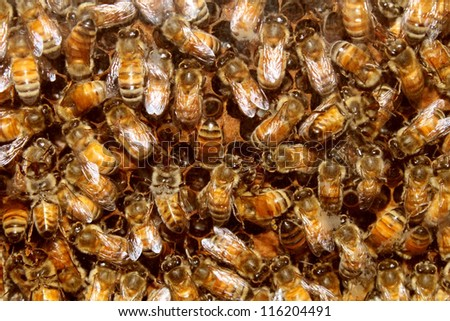 Bees in a beehive making sweet honey in the the honeycomb cell structures working together as a team of flying insects frantically feeding the larva as a golden yellow nature background. - stock photo