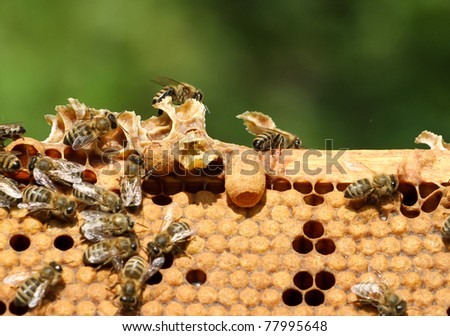 bees in honeycomb in sunlight - stock photo
