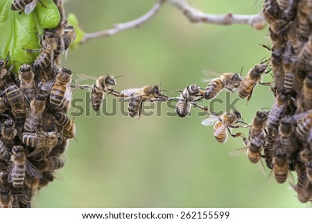 Bees making a chain to combine two bee swarm parts in one. It is a metaphor for business or community situations such as teamwork, partnership, cooperation, company merger, bridging the gap, link. - stock photo