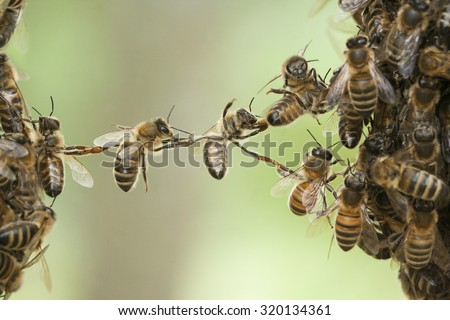Bees making a chain to combine two bee swarm parts in one. Teamwork of bees bridging the gap. Behavior of bees. - stock photo