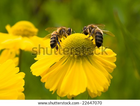 Bees on a yellow flower. Small depth to sharpness - stock photo