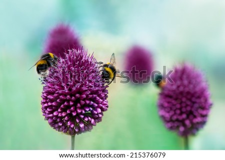 Bees on Allium sphaerocephalon.  Allium Drumstick, also known as sphaerocephalon, produces two-toned, Burgundy-Green flower heads.  The flowers open green, then start to turn purple. - stock photo