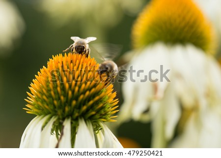 bees on coneflower (echinacea)