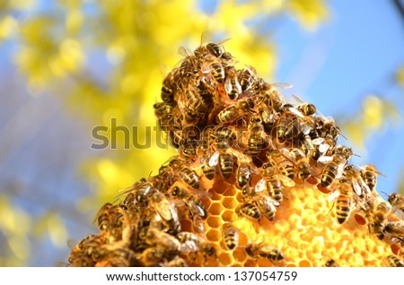 Bees on honeycomb frame against blue sky in the springtime - stock photo