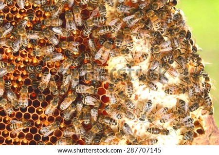 bees on honeycomb in the springtime