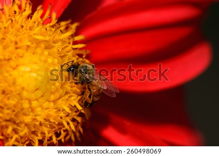 Bees on red dahlia flower, macro. - stock photo