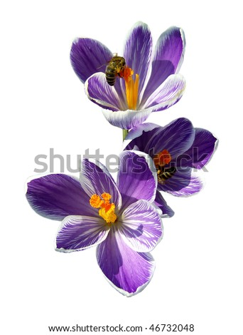 Bees on spring crocuses isolated on white. - stock photo