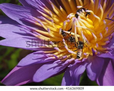 bees pollinating purple lotus close up - stock photo
