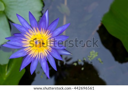 Bees swarm pollen of lotus purple flower close up top view in daylight - stock photo