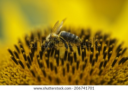 bees working with sunflower