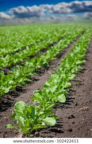 Beet field - stock photo