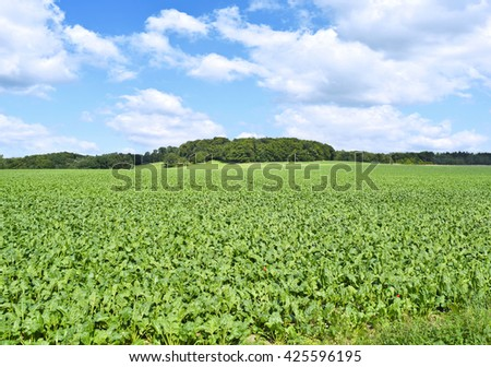 Beet field in the sun with blue sky and fluffy clouds. Farmland and forest in the background with copy space. Agriculture summer scene. Cows pasturing in the background. - stock photo