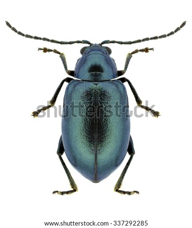 Beetle Altica bicarinata on a white background - stock photo
