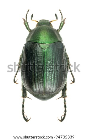 Beetle Anomala dubia on a white background - stock photo