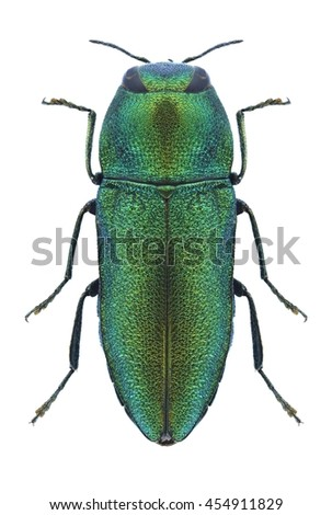 Beetle Anthaxia flavicomes on a white background - stock photo