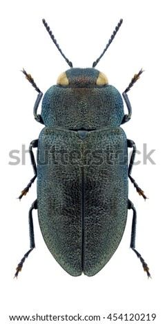 Beetle Anthaxia helvetica helvetica on a white background - stock photo