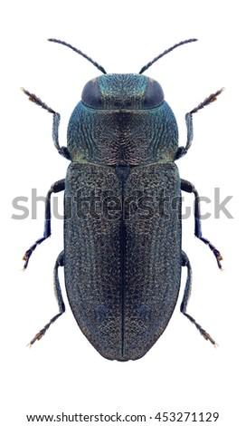 Beetle Anthaxia nigritula martini on a white background - stock photo