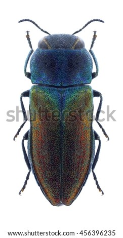 Beetle Anthaxia olympica on a white background - stock photo