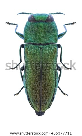 Beetle Anthaxia protractipennis on a white background - stock photo