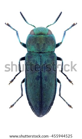 Beetle Anthaxia psittacina psittacina on a white background - stock photo