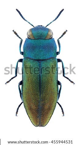 Beetle Anthaxia rossica on a white background - stock photo