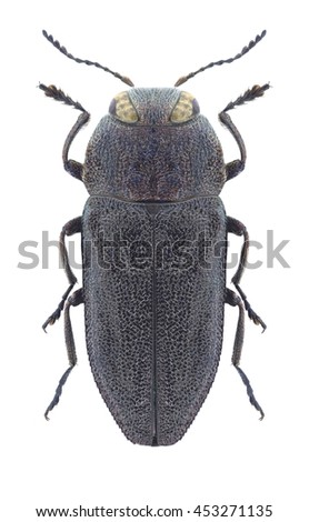 Beetle Anthaxia rugicollis rugicollis on a white background - stock photo