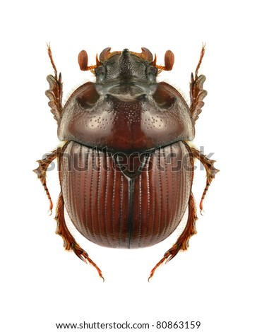 Beetle Bolbelasmus unicornis (male) on the white background - stock photo