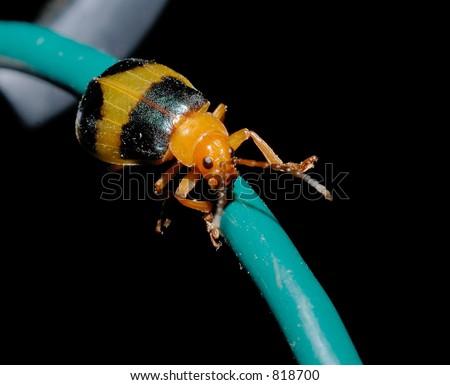 Beetle Bug - stock photo