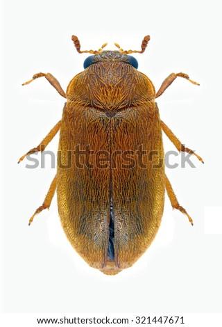 Beetle Byturus ochraceus on a white background - stock photo