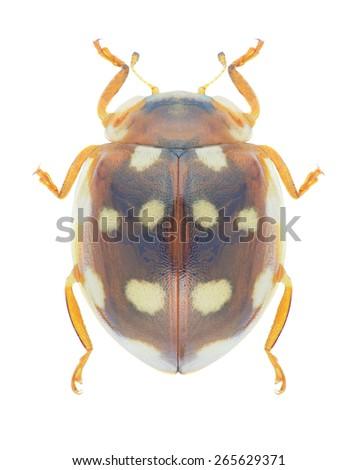 Beetle Calvia quatuordecimguttata on a white background - stock photo