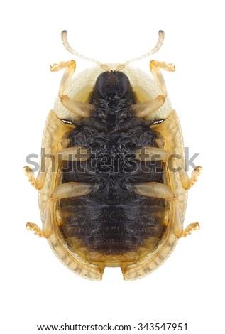 Beetle Cassida nebulosa (underside) on a white background - stock photo
