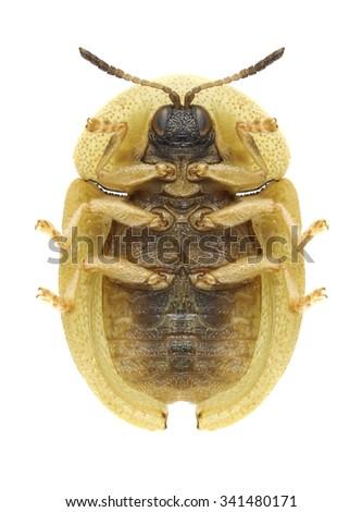 Beetle Cassida pusilla (underside) on a white background - stock photo