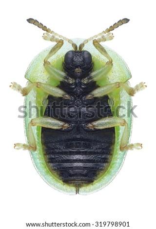 Beetle Cassida stigmatica (underside) on a white background - stock photo