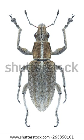 Beetle Charagmus gressorius on a white background - stock photo