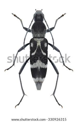 Beetle Chlorophorus figuratus on a white background - stock photo