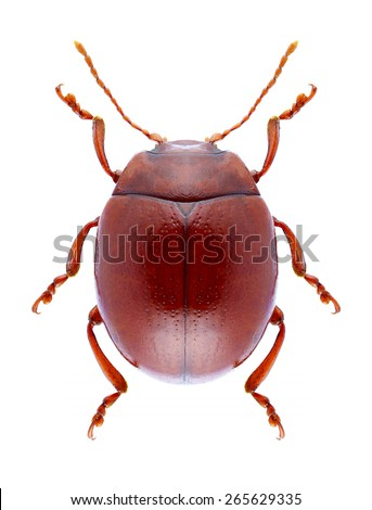Beetle Chrysolina blanchei on a white background - stock photo