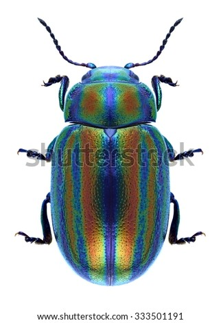 Beetle Chrysolina cerealis on a white background - stock photo