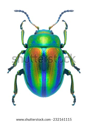 Beetle Chrysolina fastuosa on a white background - stock photo