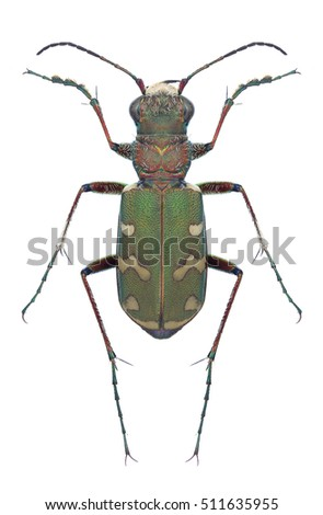 Beetle Cicindela soluta on a white background