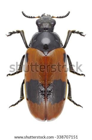 Beetle Clytra laeviuscula on a white background - stock photo
