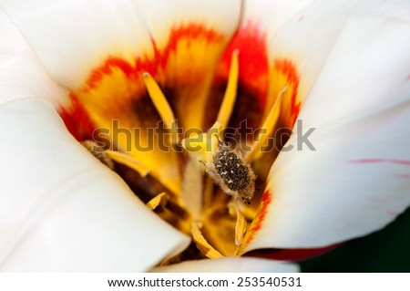 beetle collecting pollen in the white Tulip closeup - stock photo